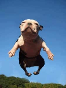 jumping staffy